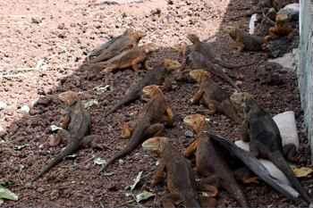 suelta de iguanas terrestres de Galápagos