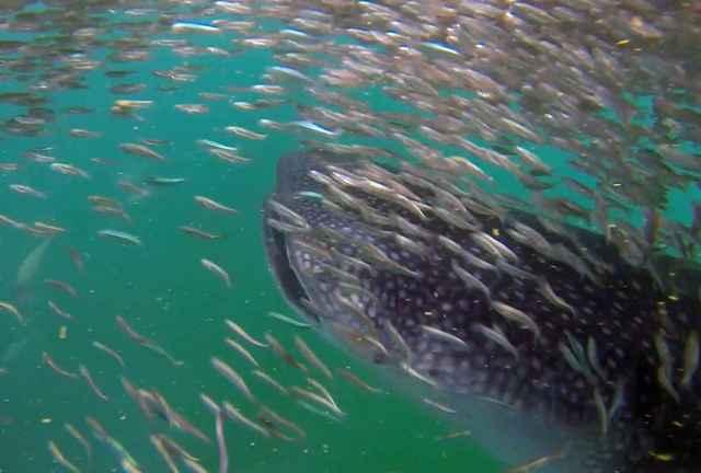 tiburón ballena rodeado de sardinas
