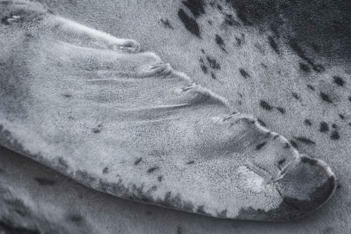 aleta de foca leopardo