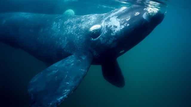 ballena franca (Eubalaena glacialis)