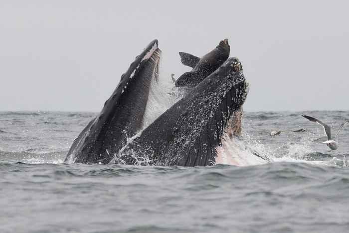 ballena jorobada con un león marino en la boca