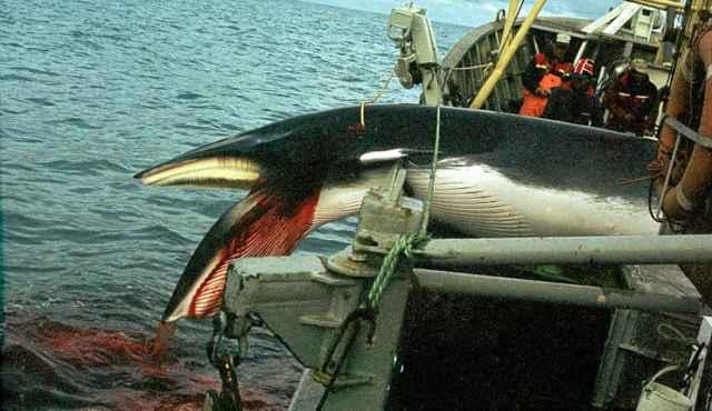 ballena minke es subida a un ballenero de Noruega