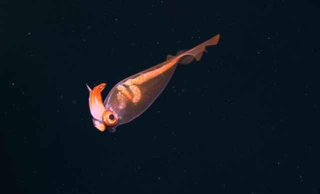 calamar cacatúa transparente