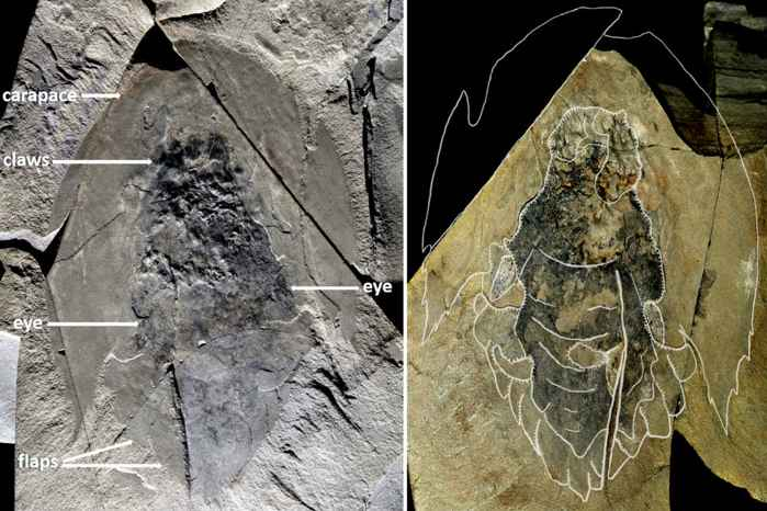 fósil de Cambroraster falcatus