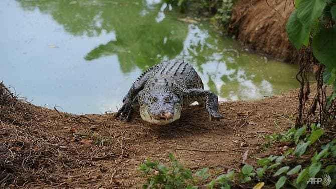 cocodrilo de agua salada (Crocodylus porosus)