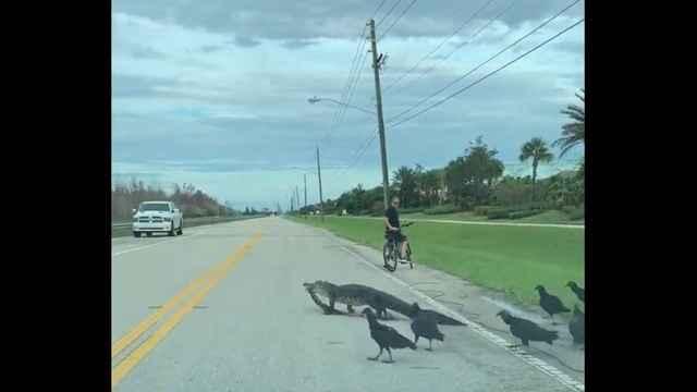 cocodrilo cruza una carretera seguido por buitres
