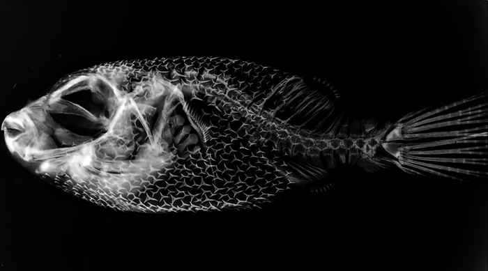 esqueleto del pez globo