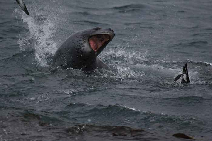 foca leopardo caza un pingüino
