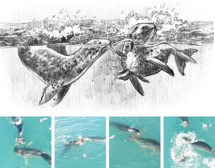 focas leopardo colaboran juntas