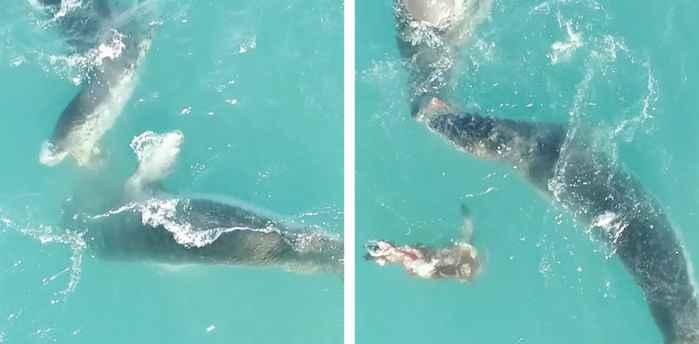 focas leopardo comiendo juntas