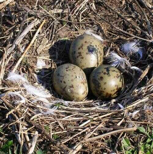 huevos de gaviota