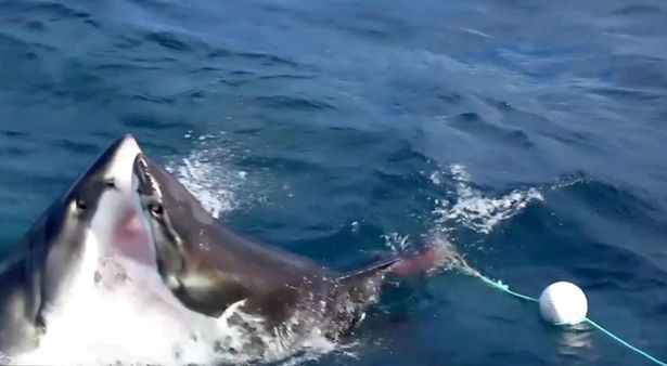 lucha entre dos tiburones