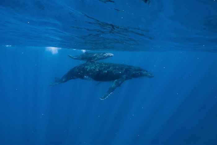 madre y cría de ballena jorobada en la superficie