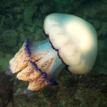medusa Rhizostoma pulmo