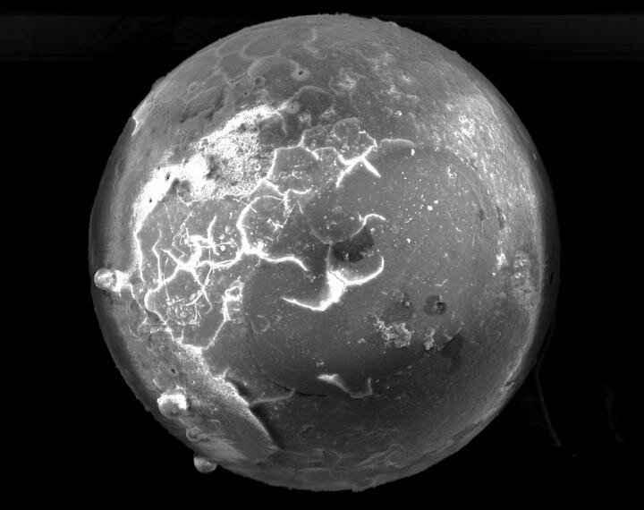 microtektita en fósiles de almeja
