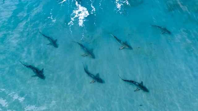 migración de tiburones punta negra