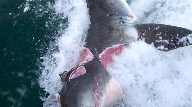 mordiscos en un tiburón