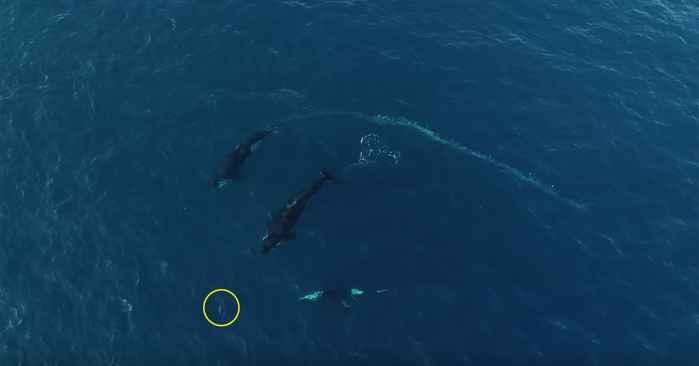 orcas cazan a una cría de delfín