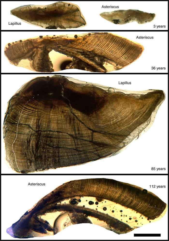 otolitos de búfalo de boca grande