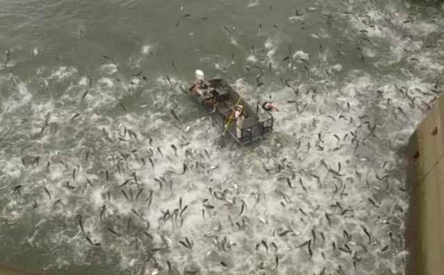pesca eléctrica de carpa asiática