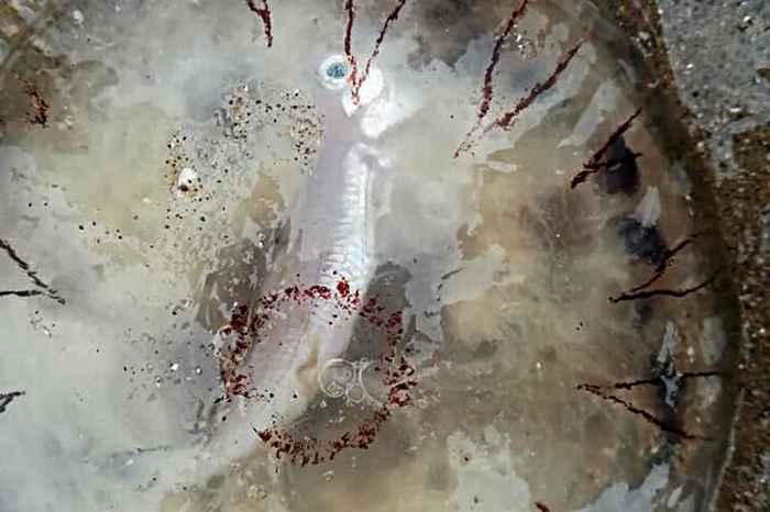 pez dentro de una medusa