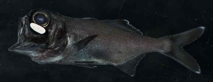 pez linterna (Anomalops katoptron)
