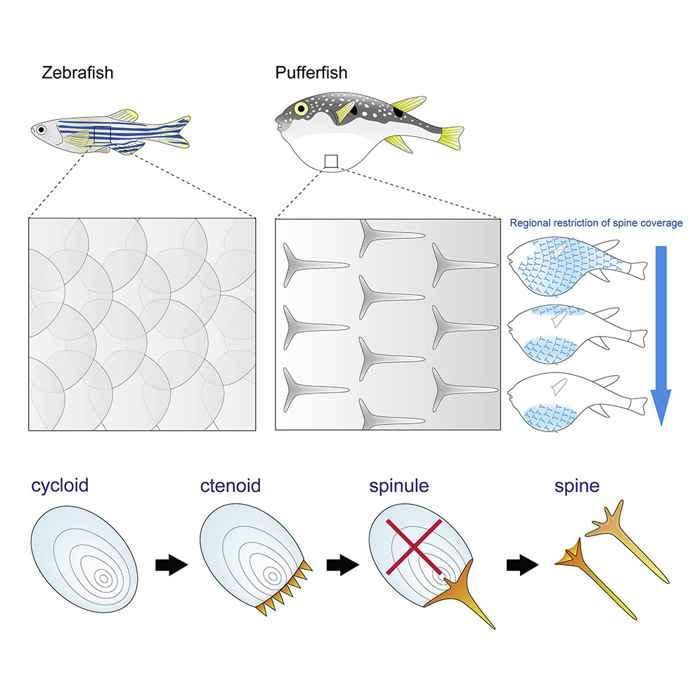 piel del pez cebra y el pez globo