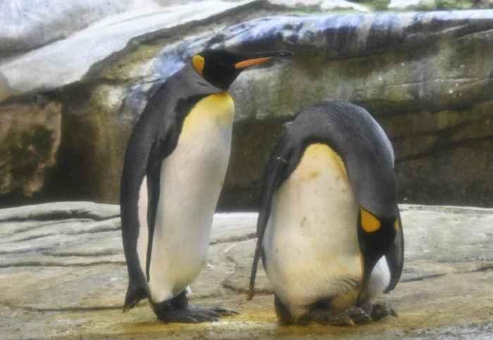 pingüinos gay Skipper y Ping