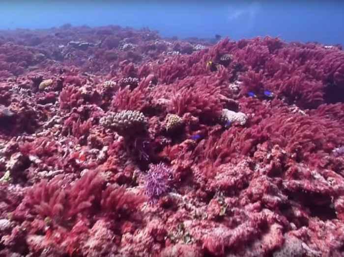 alga marina Asparagopsis en el mar