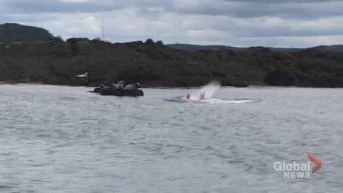 ataque de tiburón a una foca