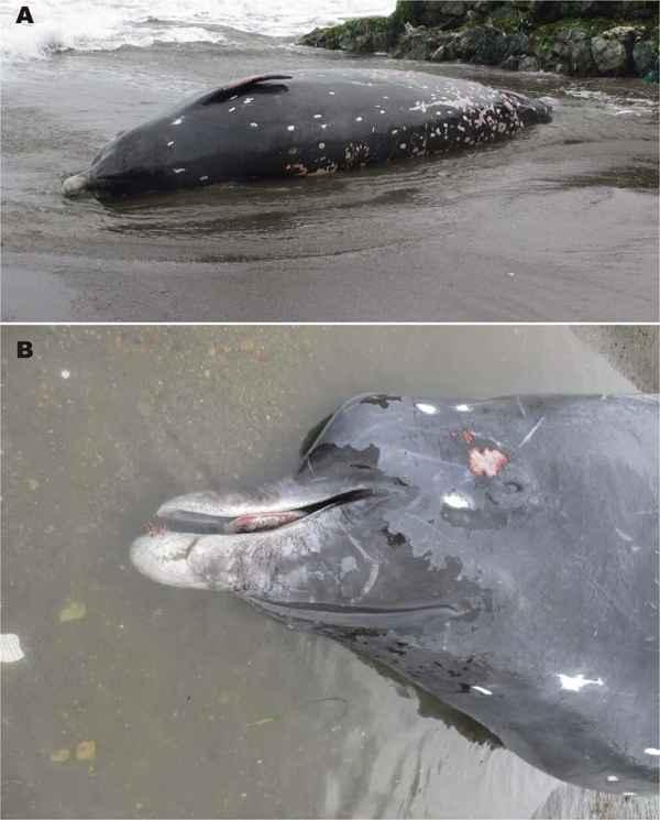ballena negra de Hokkaido varada