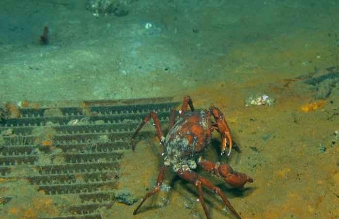 cangrejo con parásitos en el sitio de la Deepwater Horizon