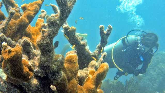 coral cuerno de ciervo (Acropora cervicornis)