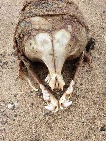 cráneo de foca común sin cuencas orbitales