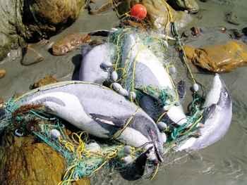 delfines de Māui enredados