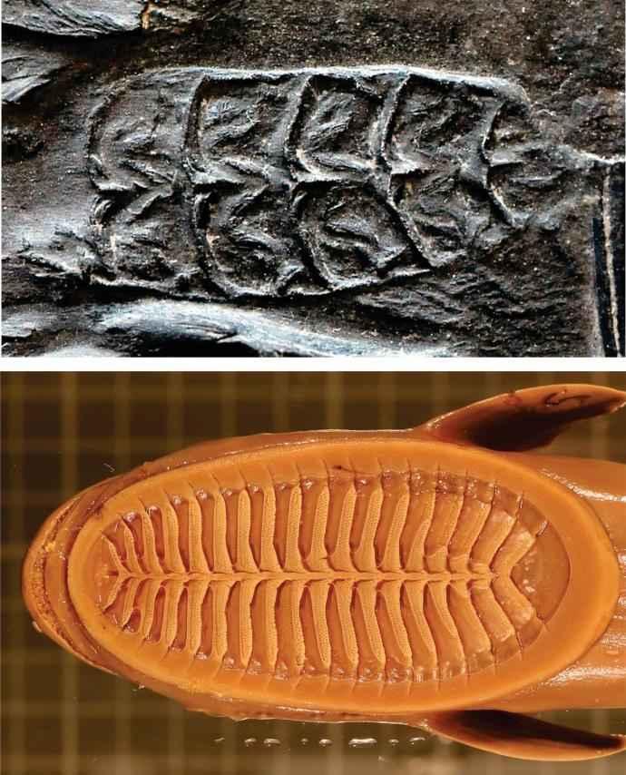 discos de succión de rémora fósil y actual