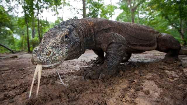 dragón de Kocomodo