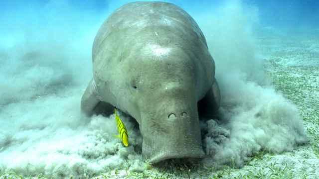 dugongo (Dugong dugon)