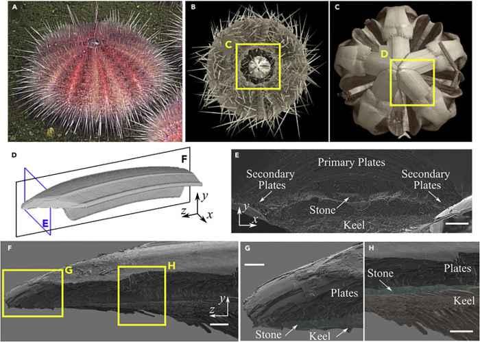 estructura de los dientes de erizo de mar