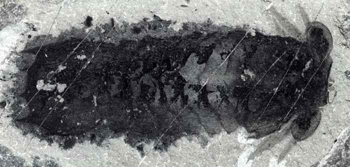 fósil de Mollisonia plenovenatrix