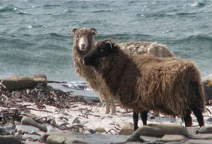 ovejas en las Orcadas