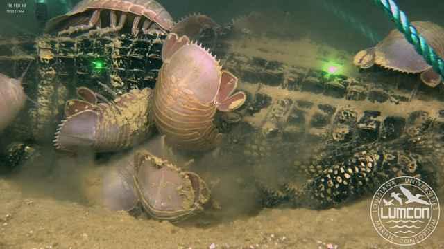 isópodos gigantes se alimentan de un cocodrilo, detalle