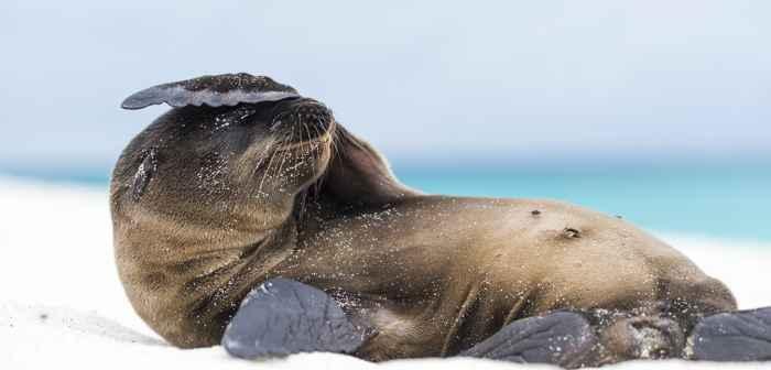 león marino de Galápagos (Zalophus wollebaeki)