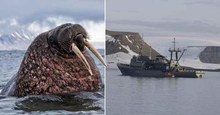 una morsa y el remolcador ruso Altai
