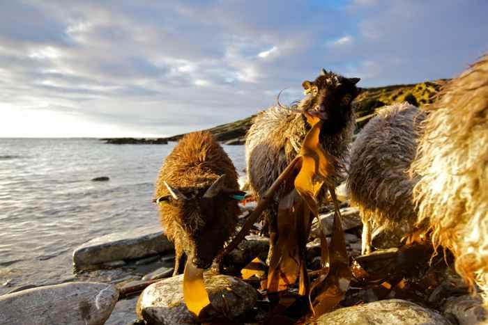 ovejas comen algas en las Orcadas