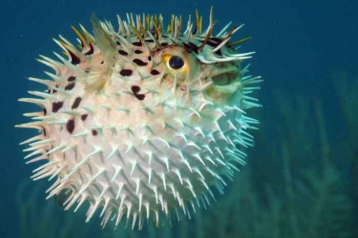 pez puercoespín