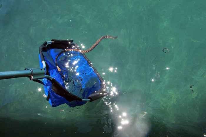 captura de una serpiente marina Aipysurus laevis