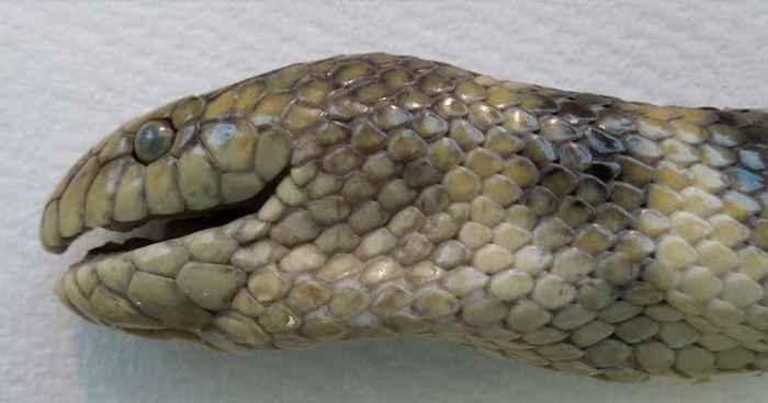 serpiente marina Hydrophis cyanocinctus