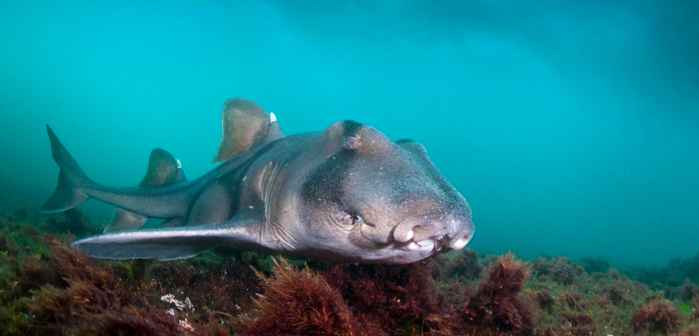 tiburón de Port Jackson