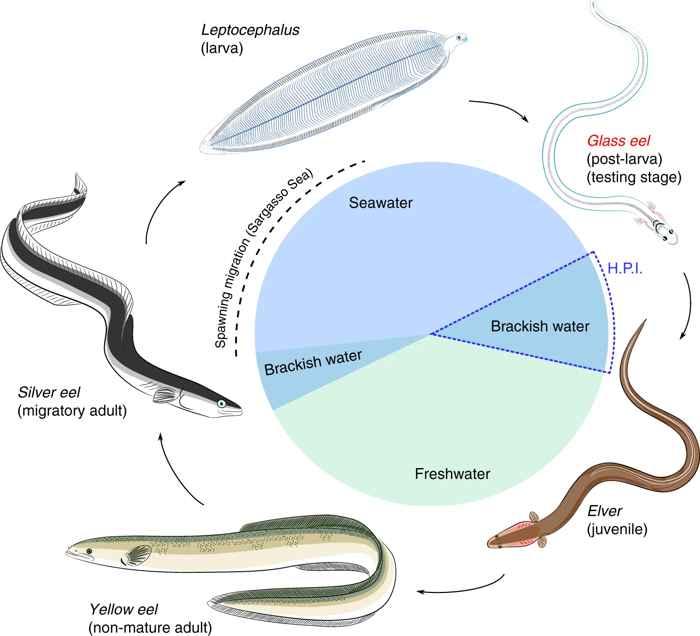 Historia de vida de la anguila europea (Anguilla anguilla)